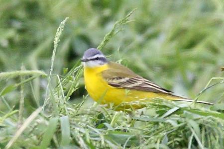 Western Yellow Wagtail (M.f.beema)  - Moreno Nalin