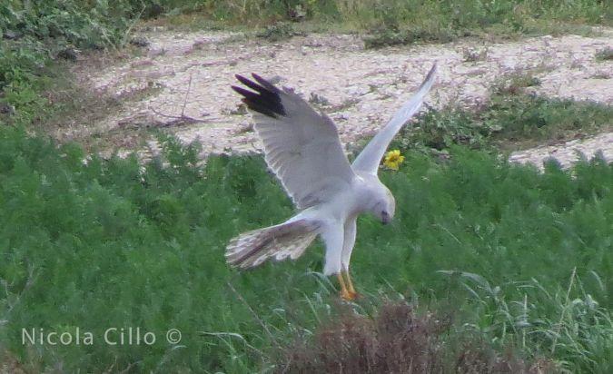 Pallid Harrier  - Nicola Cillo