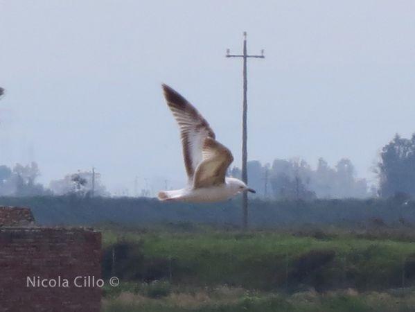 Caspian Gull  - Nicola Cillo
