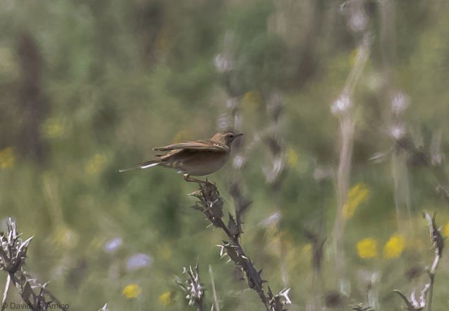 Richard's Pipit  - Davide D'amico