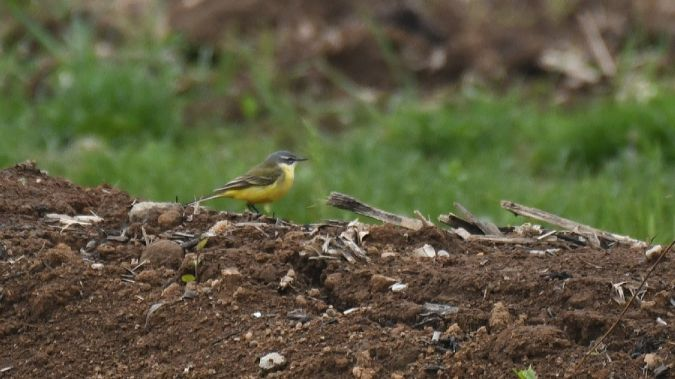 Western Yellow Wagtail (M.f.iberiae)  - Valter Clerici