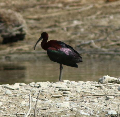 Glossy Ibis  - Marco Pantalone