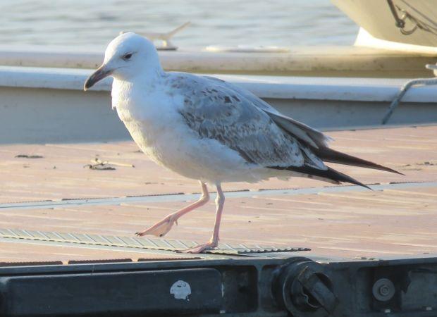 Caspian Gull  - Colombo Lorenzo