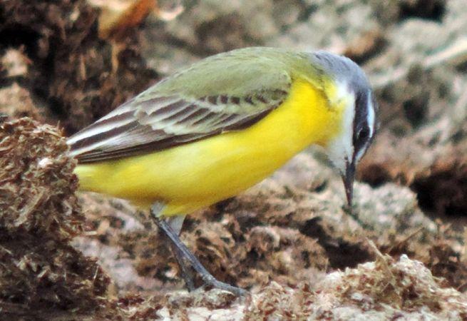 Western Yellow Wagtail (M.f.iberiae)  - Michele Lamberti