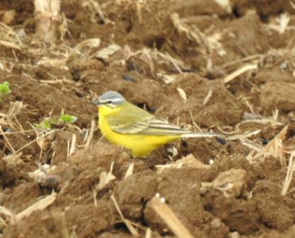 Western Yellow Wagtail (M.f.beema)  - Walter Sassi