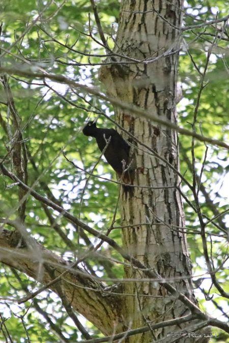 Black Woodpecker  - Foca Giovanni Torchia