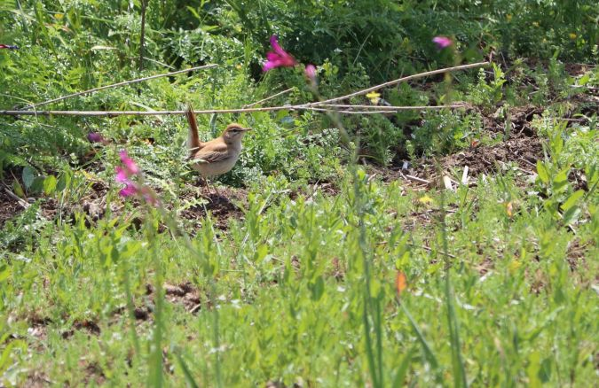 Rufous-tailed Scrub Robin (C.g.galactotes)  - David Guarnieri