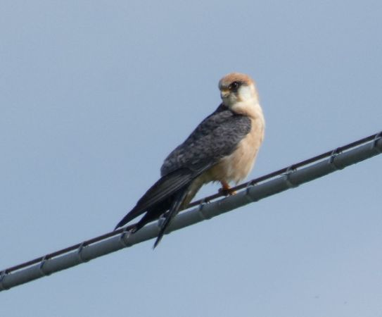 Red-footed Falcon  - Daniele Ronconi