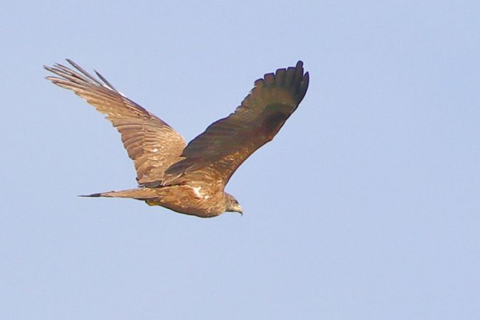 Black Kite  - Fabio  Moretto