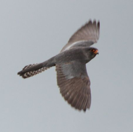 Red-footed Falcon  - Vito Giovanni Santantonio