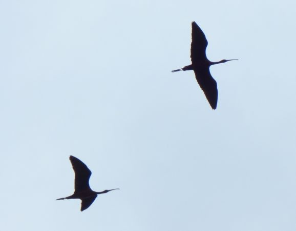 Glossy Ibis  - Paolo Ricci
