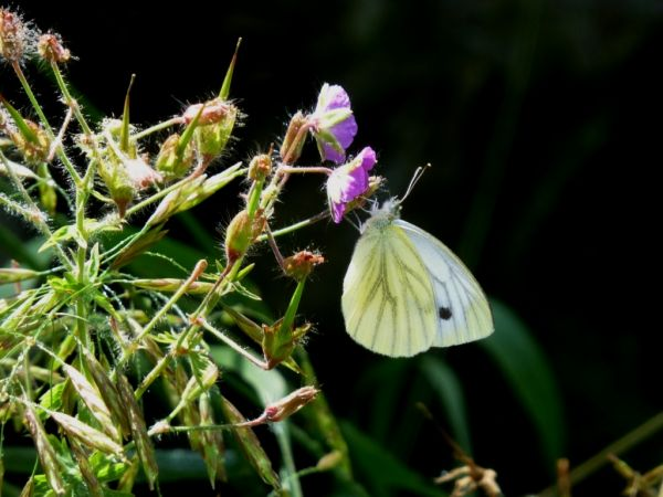 Green-veined White  - Maria Rita Gelso
