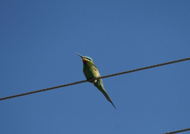 Blue-cheeked Bee-eater  - Francesco Ornaghi