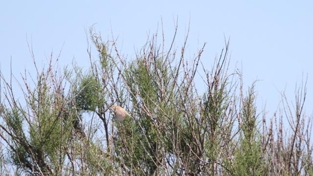 Eastern Olivaceous Warbler  - Francesco Ornaghi