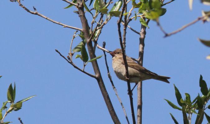 Common Rosefinch  - Cristiano Liuzzi