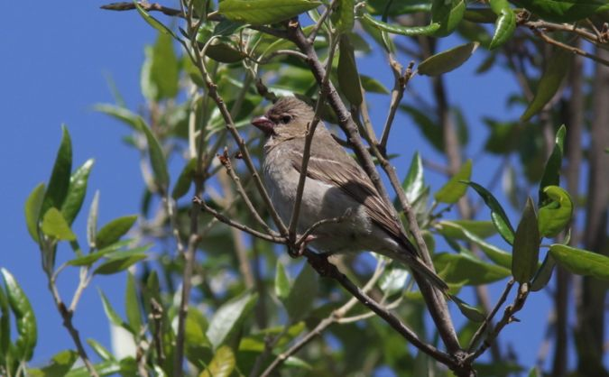 Common Rosefinch  - Cristiano Liuzzi