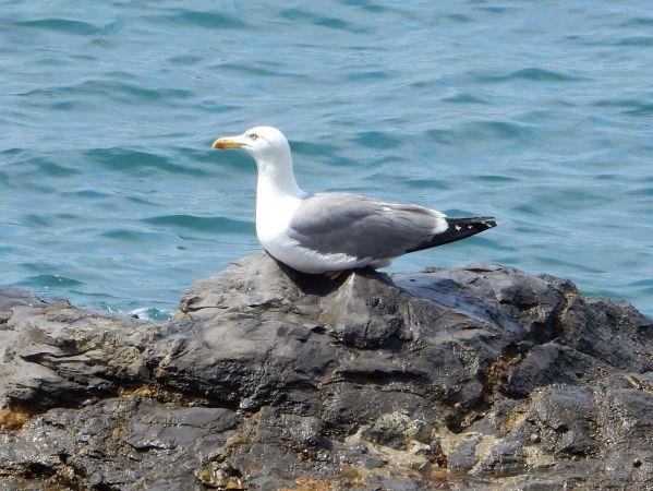 Yellow-legged Gull  - Maria Rita Gelso