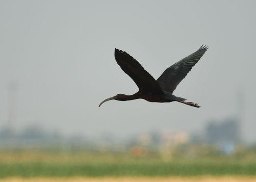 Ibis falcinelle  - Nunzio Grattini