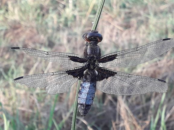Broad-bodied Chaser  - Marco Gasponi