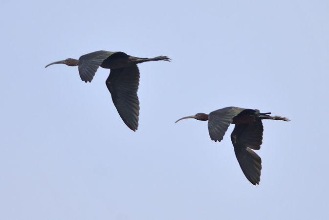 Glossy Ibis  - Atos Pastorini