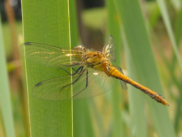 Ruddy Darter  - Elvire Laurens