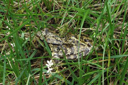 Common Frog  - Sergio Mazzotti