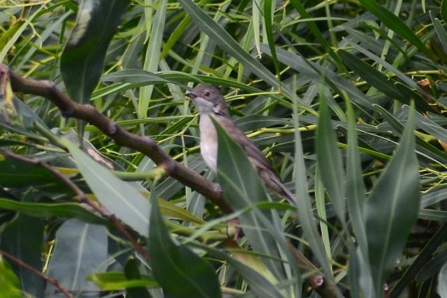 Spotted Flycatcher  - Giuseppe Amodeo