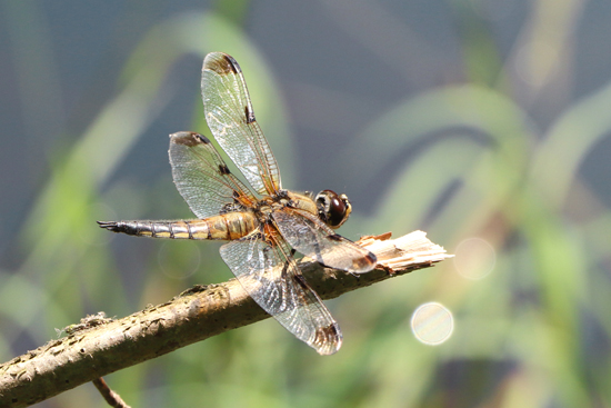Four-spotted Chaser  - Ettore Guarnaroli