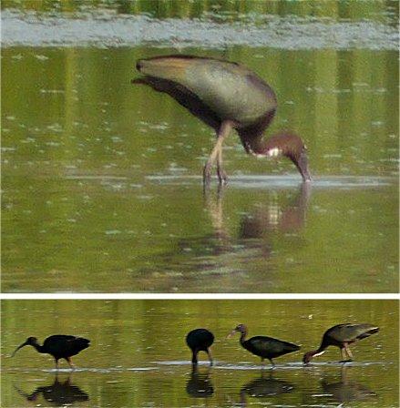 Ibis falcinelle  - Giampaolo Bonora
