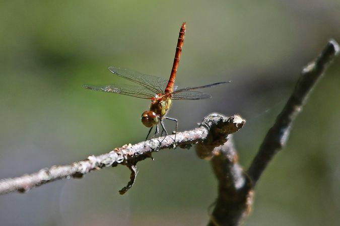 Odonata sp.  - Ettore Ruggeri