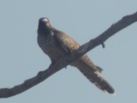 Common Cuckoo  - Claudio Bucciarelli
