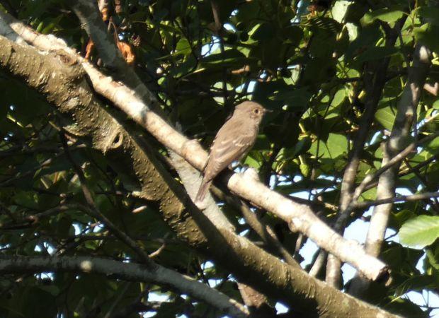 Spotted Flycatcher (M. s. tyrrhenica)  - Paolo Ricci