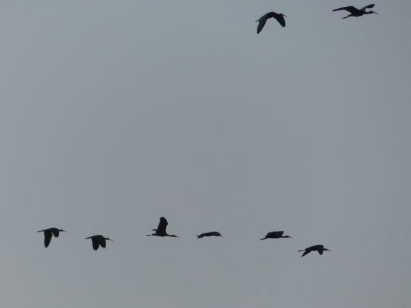Glossy Ibis  - Tommaso Renzulli