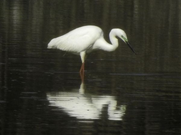 Great Egret (C.a.modestus)  - Paolo Zucca