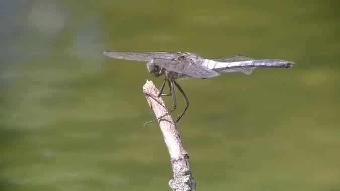 White-tailed Skimmer  - Marco Sozzi