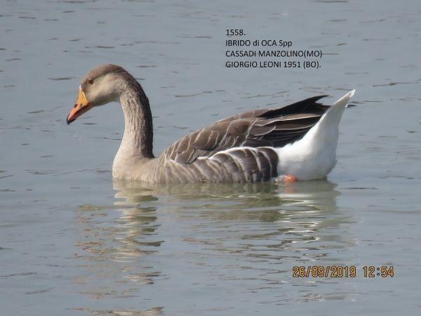 Goose hybrid, unidentified  - Giorgio Leoni
