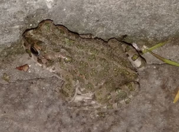 Green Toad (all species)  - Cagnan Claudio
