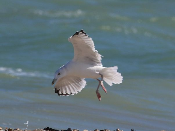 Caspian Gull  - Enrico Viganò