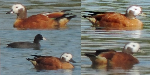 South African Shelduck  - Michele Lamberti