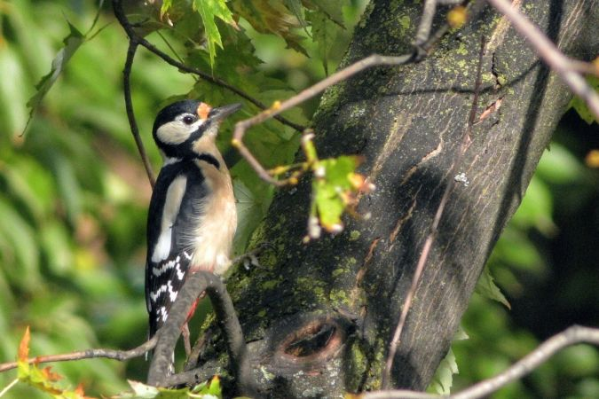 Great Spotted Woodpecker  - Lorenzo Cocco