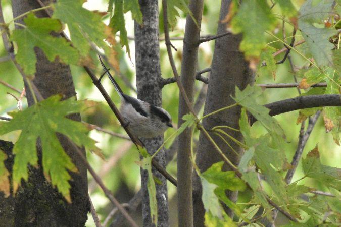 Long-tailed Tit  - Lorenzo Cocco