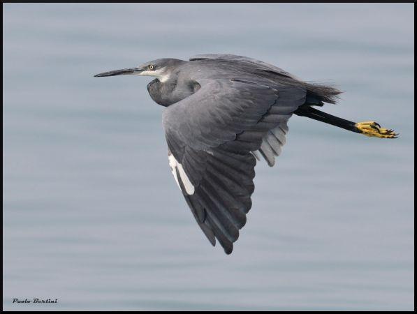 Western Reef Heron  - Paolo Bertini