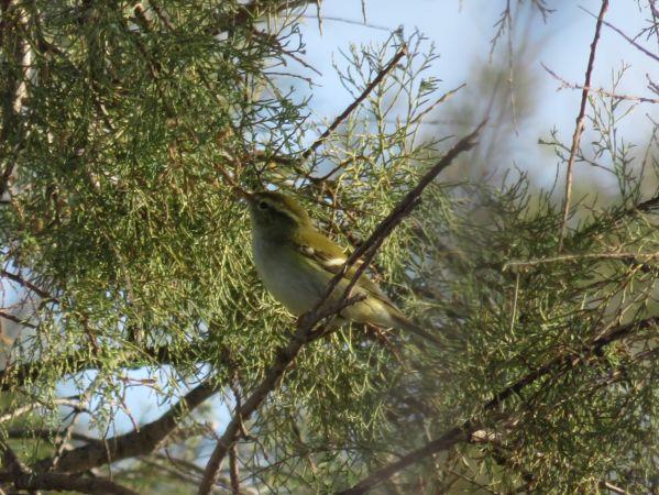 Yellow-browed Warbler  - Alessandro Bertoli