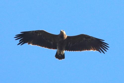 Greater Spotted Eagle  - Moreno Nalin