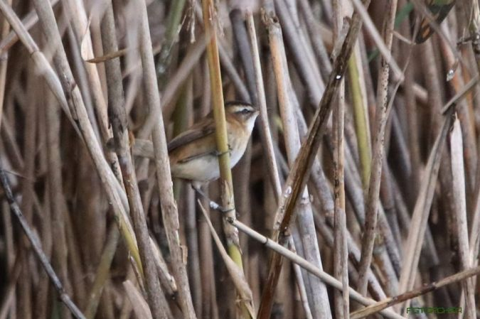 Moustached Warbler  - Foca Giovanni Torchia