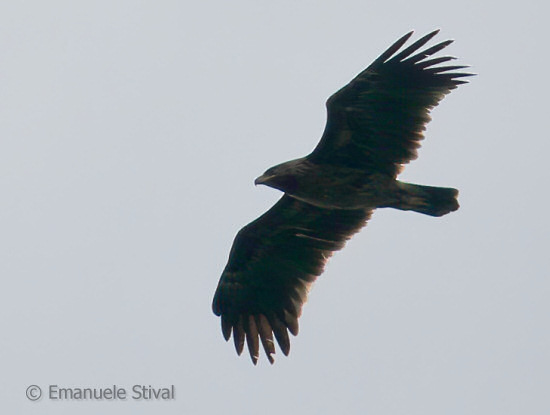Greater Spotted Eagle  - Emanuele Stival