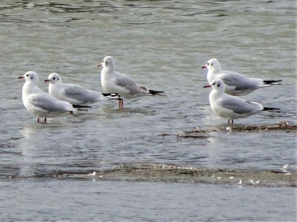 Black-headed Gull  - Valerio Sbordoni