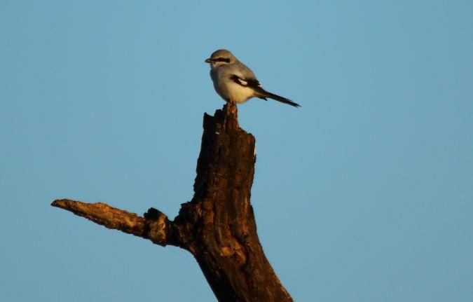 Great Grey Shrike  - Daniele Panaretti