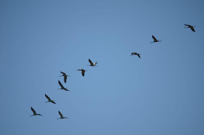 Common Crane  - Anonymous
