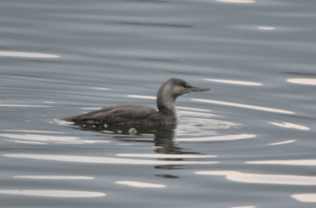 Red-throated Diver  - Elio Giacone